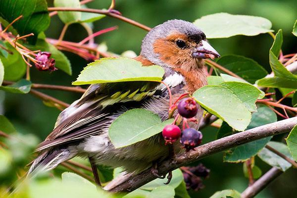 Птенец поедает плоды ирги