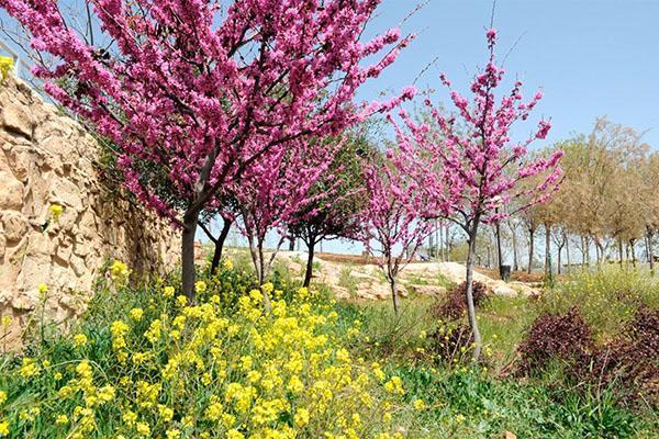 иудино дерево в мае