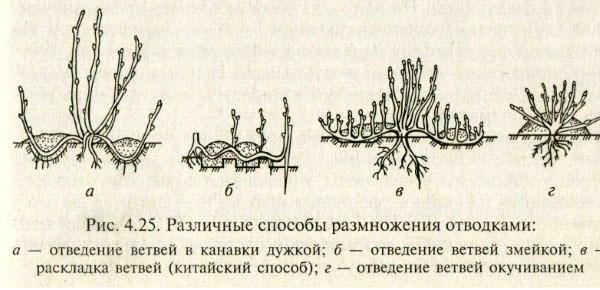 размножение йошты
