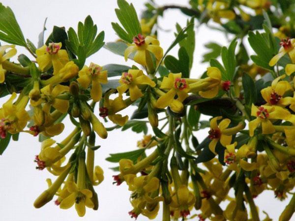 пышное цветение йошты