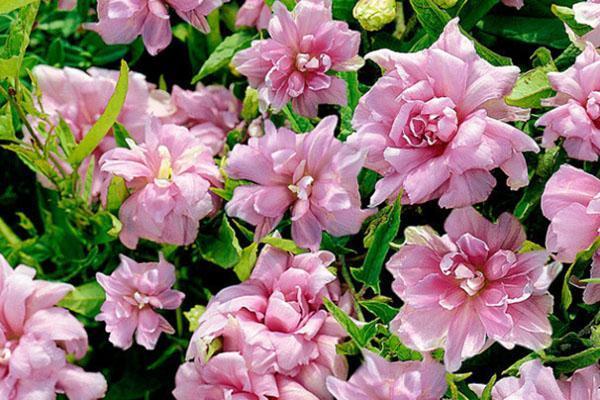 пышное цветение калистегии
