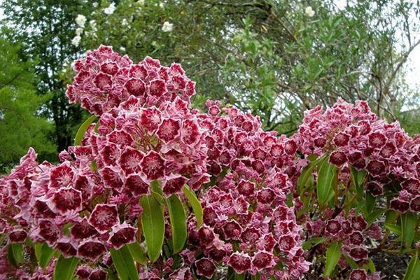 пышное цветение кальмии