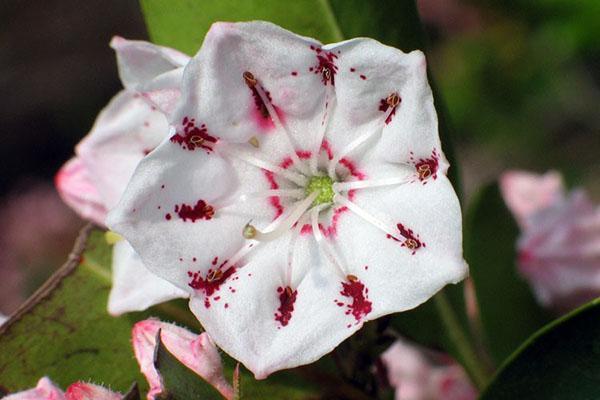 фарфоровая чашечка цветка кальмии