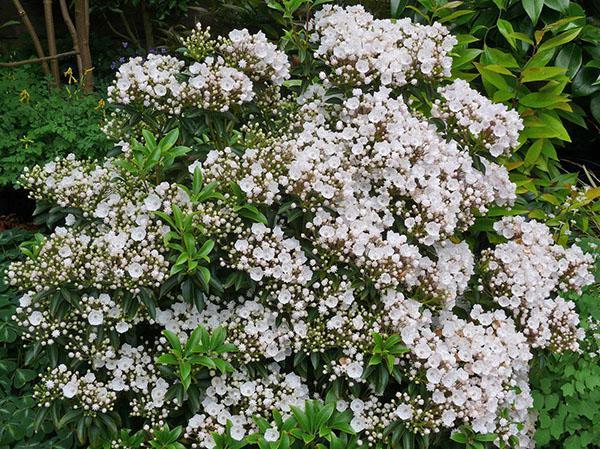 белоснежная кальмия в саду