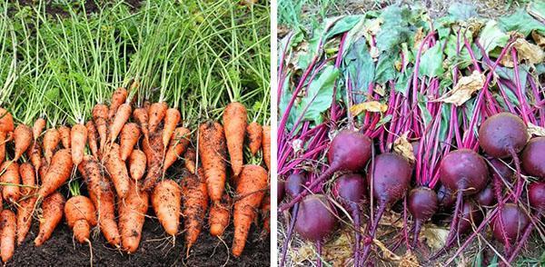 сбор урожая моркови и свеклы