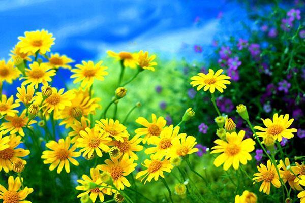 желтые луговые травы