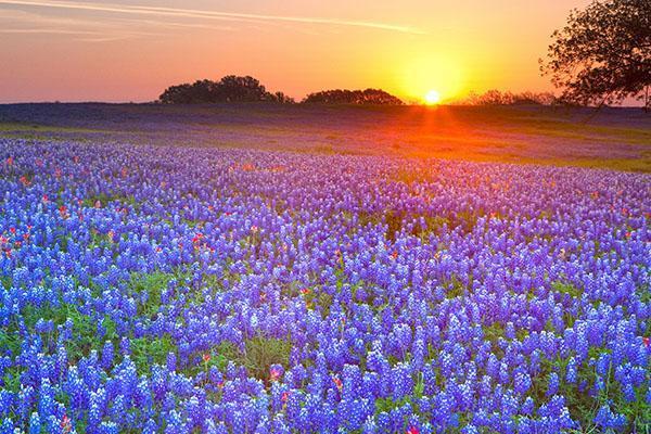 синие полевые цветы