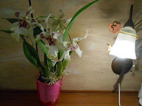 цветет камбрия дома