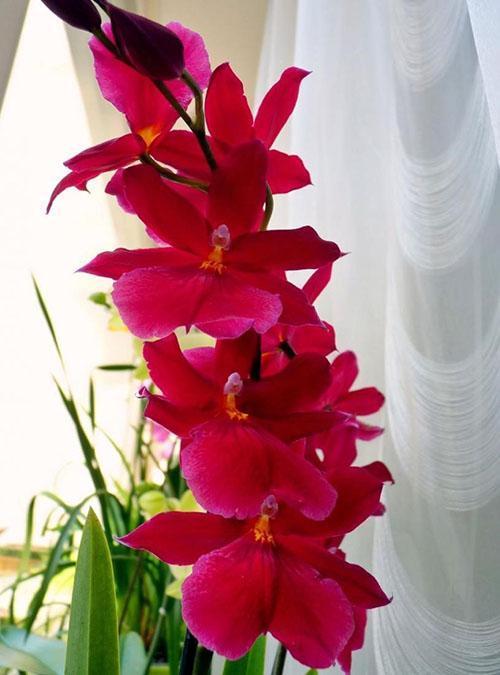 радует цветением орхидея камбрия