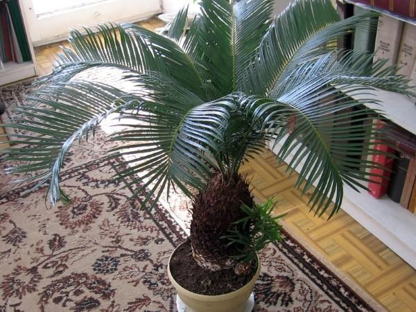 саговая пальма цикас