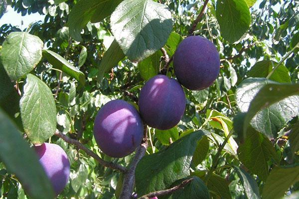 плоды естественных гибридов