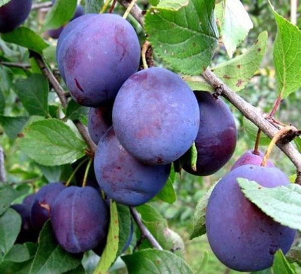 плоды сливы тамбовской