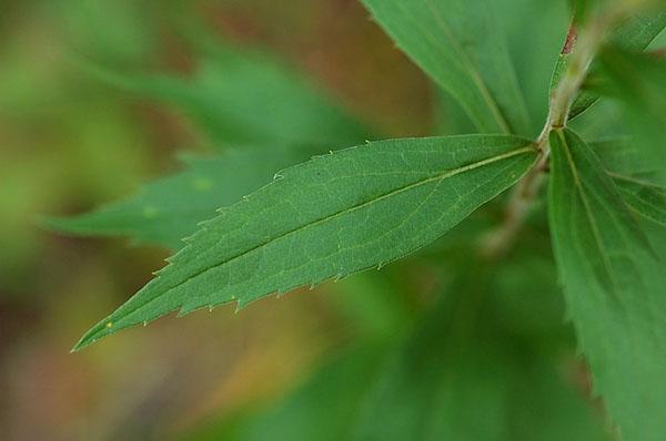 листья золотарника кандского