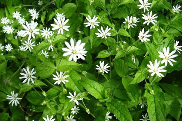 знакомство с классификацией цветковых растений
