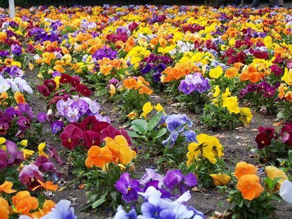 Какие цветы можно сажать в открытый грунт семенами 7