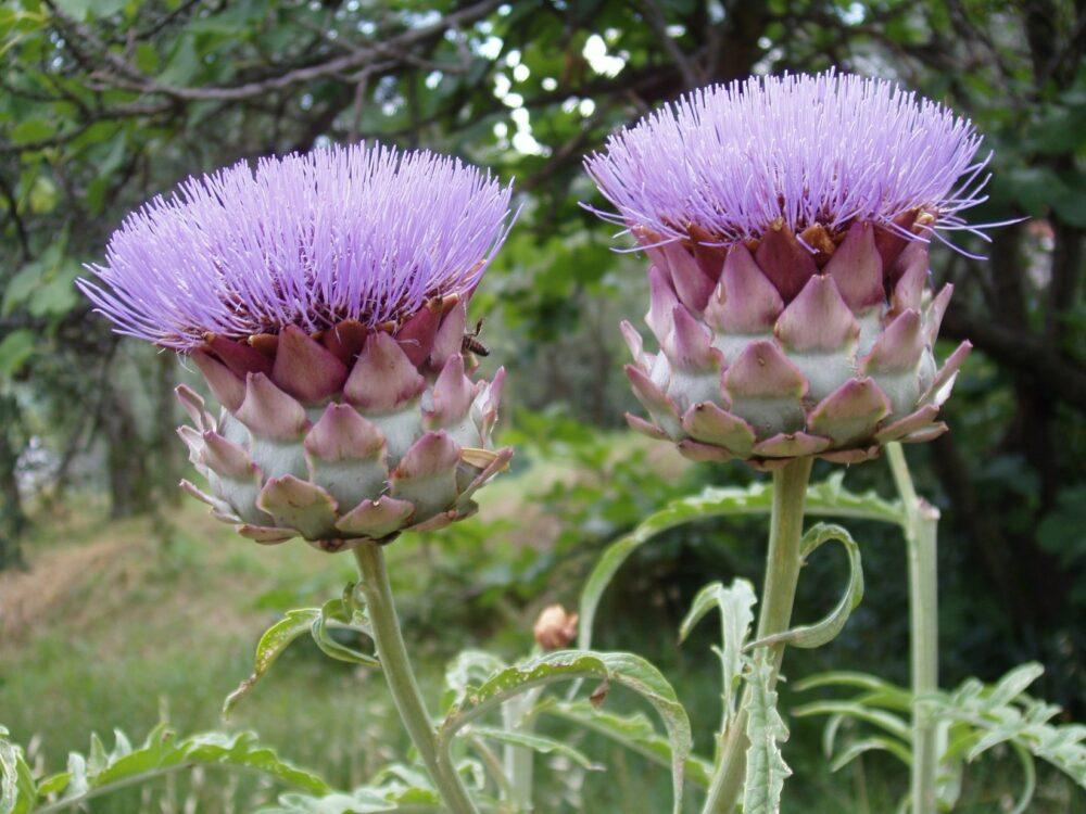 цветет артишок