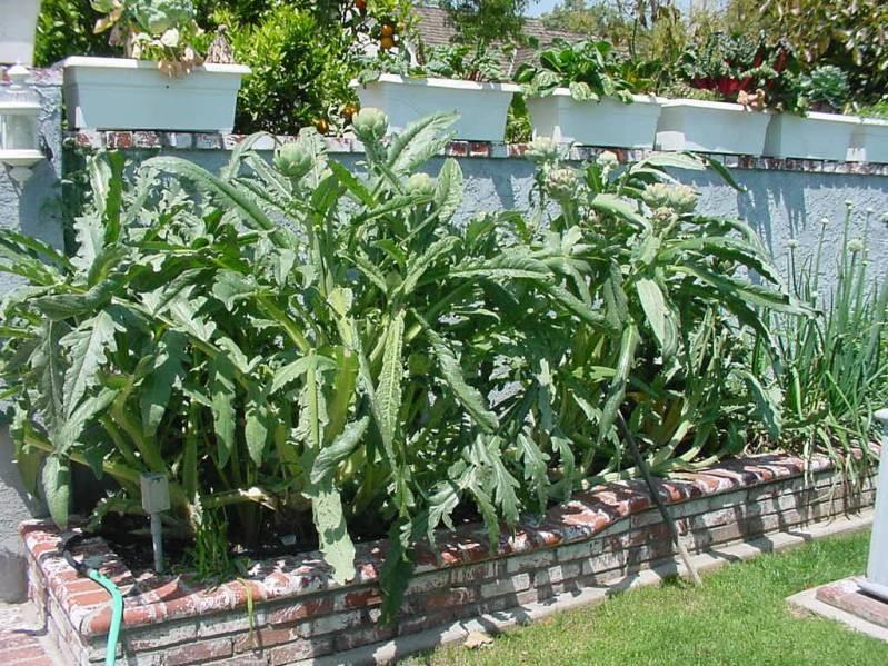 выращивание артишока в открытом грунте