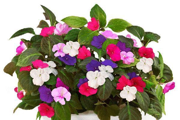 цветок ванька мокрый