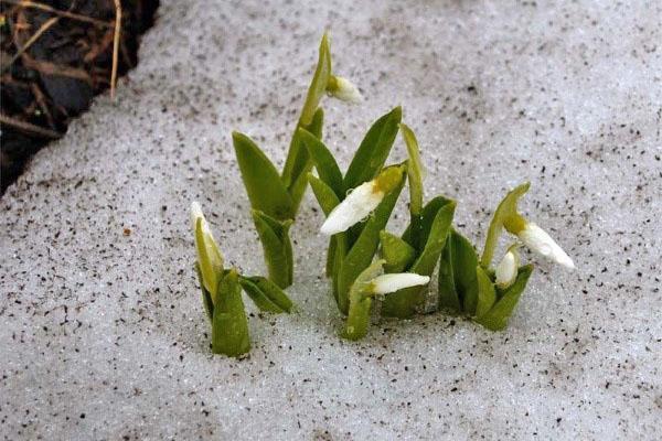 первый весенний цветок галантус