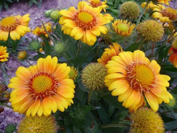 желтые цветы гайлардии аризона сан