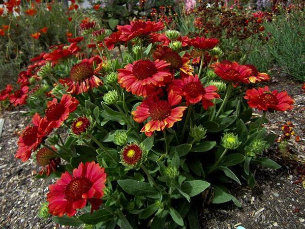 бордовое цветение гайлардии