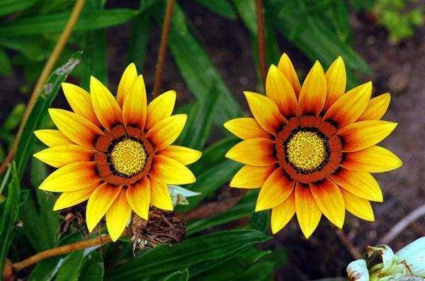 газания с ярко- желтыми цветами