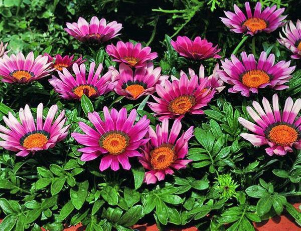 яркое пышное цветение