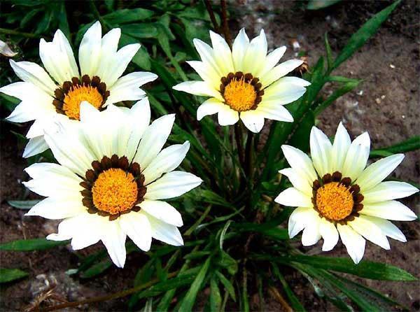 белые цветы газании