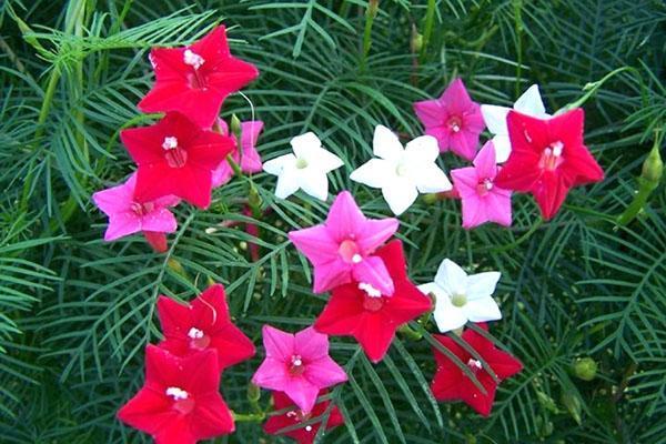 радует цветение ипомеи квамоклит