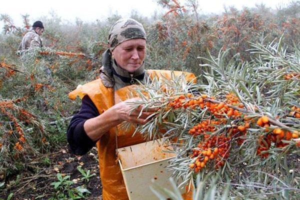 трудоемкий процесс сбора урожая