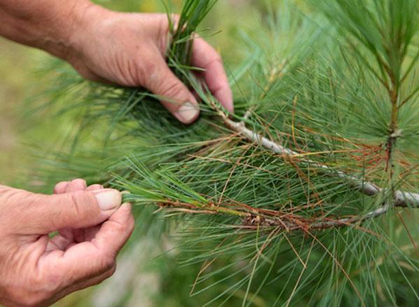 сосновые иголки в борьбе против аллергии