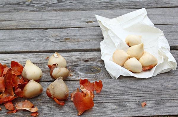 отбор луковиц для выгонки