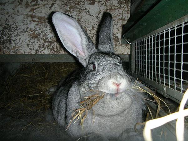 крольчиха готовится к окоту