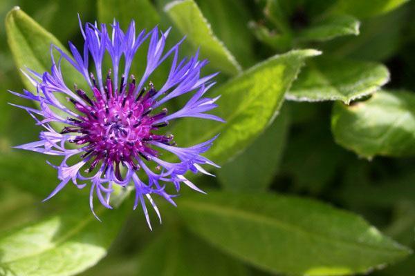 пурпурный василек
