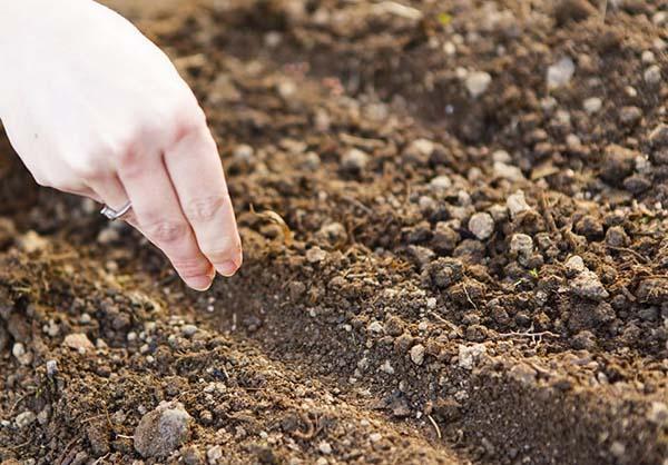 посев василька в открытый грунт