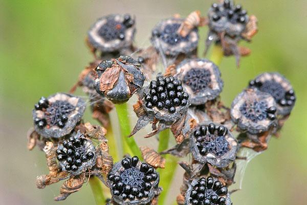 семена мухоловки после опыления