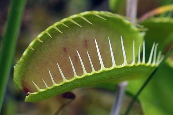венерина мухоловка питается только живыми организмами