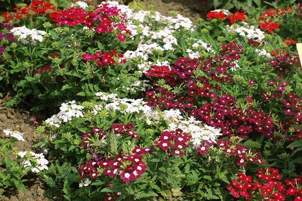 пышное цветение вербены в саду