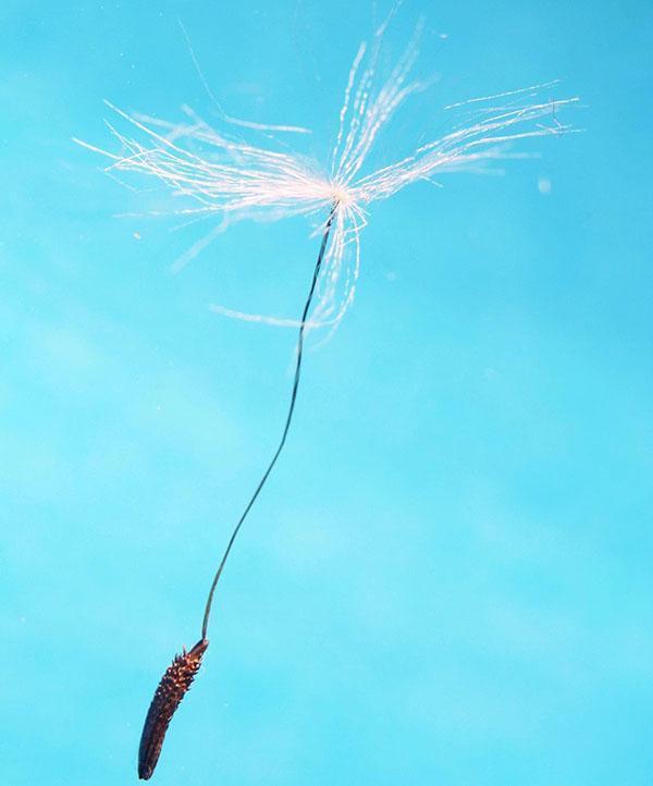семянка ветреницы