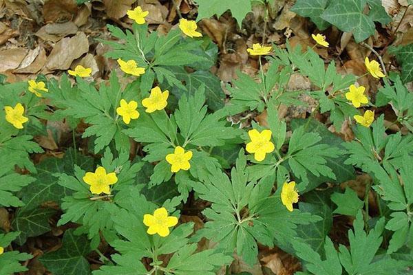 желтые цветы ветреницы