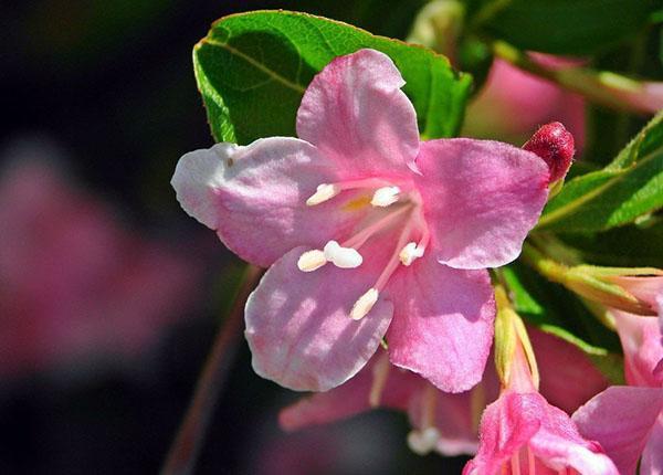 розовые цветы вейгелы