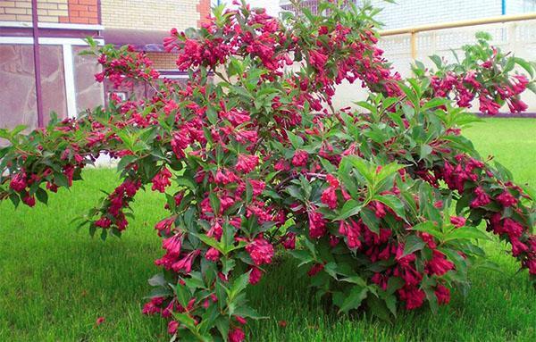 майское цветение вейгелы
