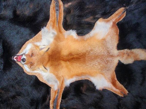 выделанная в домашних условиях шкура лисы