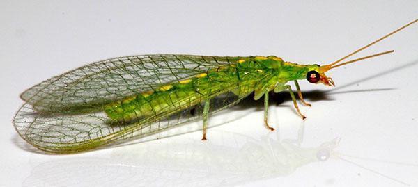 насекомое златоглазка