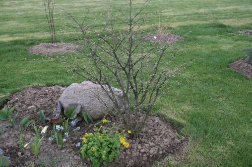 бересклет весной