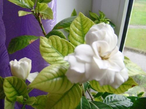 бледные листья гардении