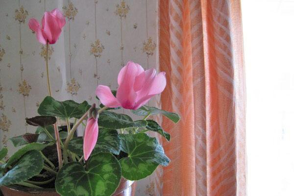 слабое цветение цикламена