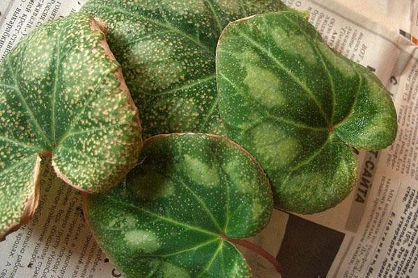 листья поражены трипсами