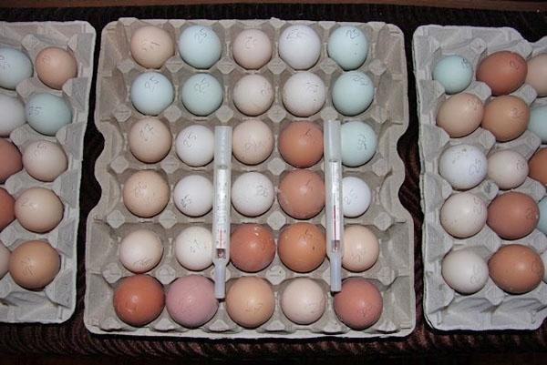 хранение яиц на инкубацию