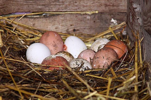 сбор яиц 2 раза в день